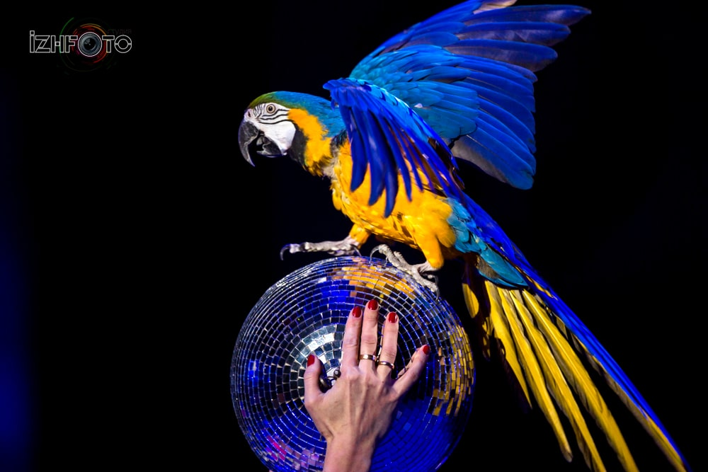 "Liras"", parrots act, trained by Aleksander Onoprienko, Russia"
