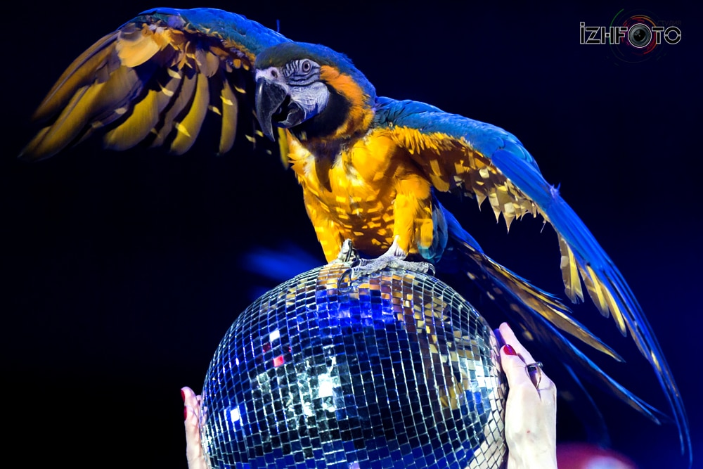 """Liras"", parrots act, trained by Aleksander Onoprienko"