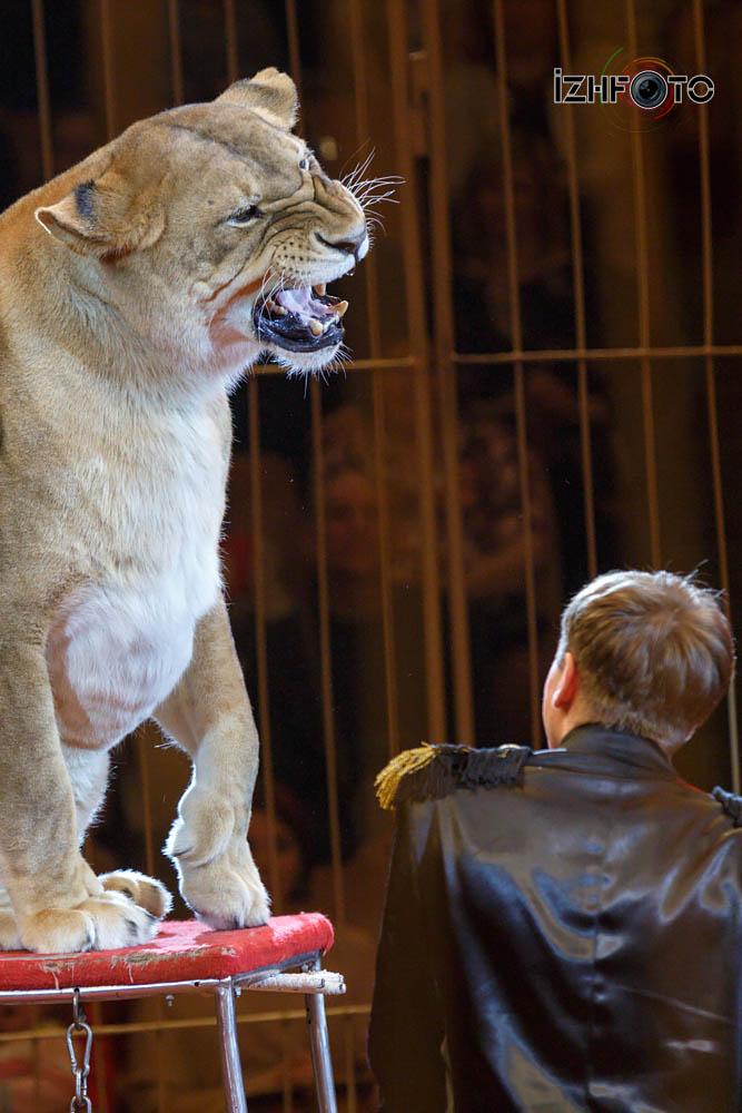 Цирковые тигры