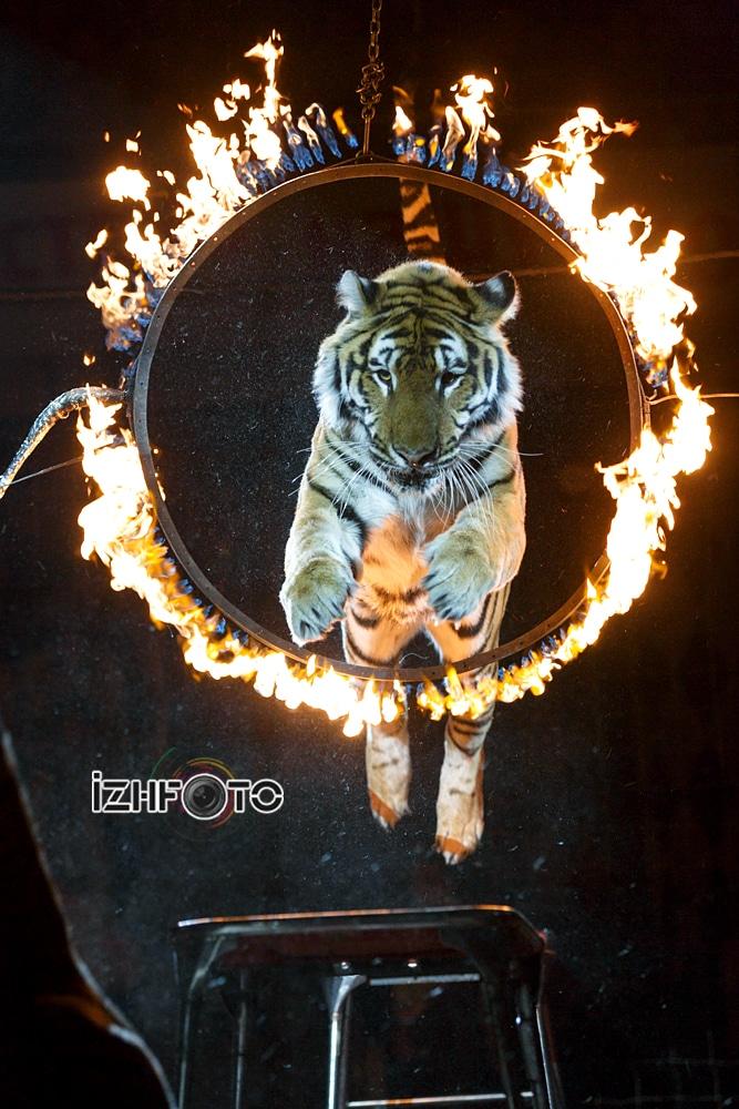 Николай Павленко «Суматранские тигры», Фото