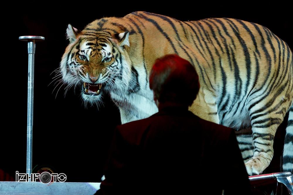 «Суматранские тигры», Николай Павленко, Россия