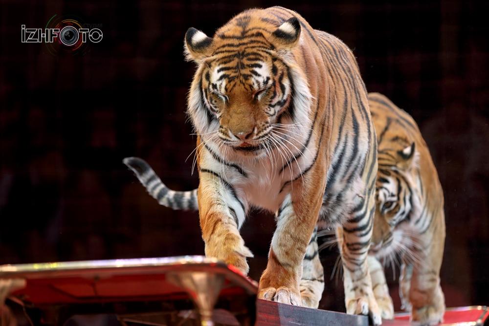 Николай Павленко с номером Суматранские тигры
