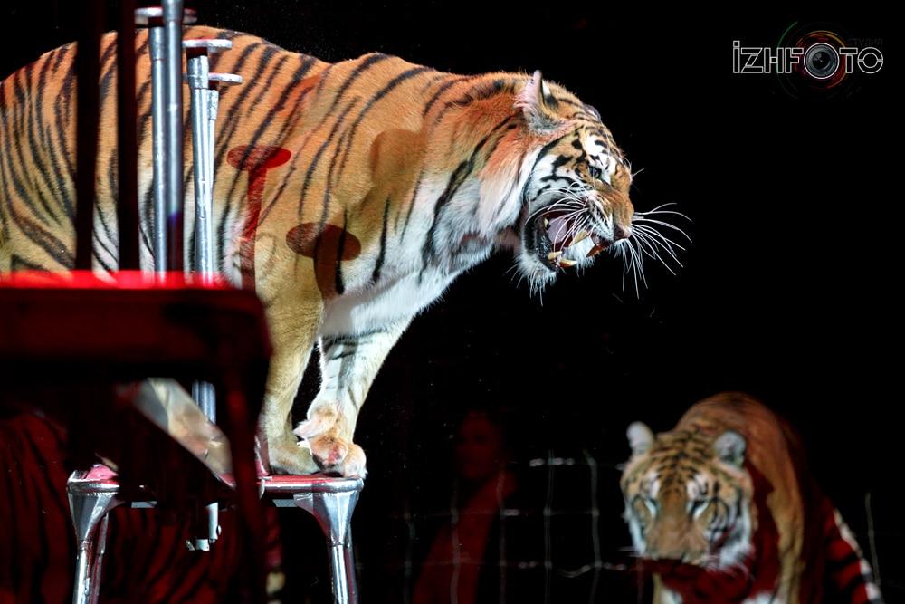 Суматранские тигры Фото