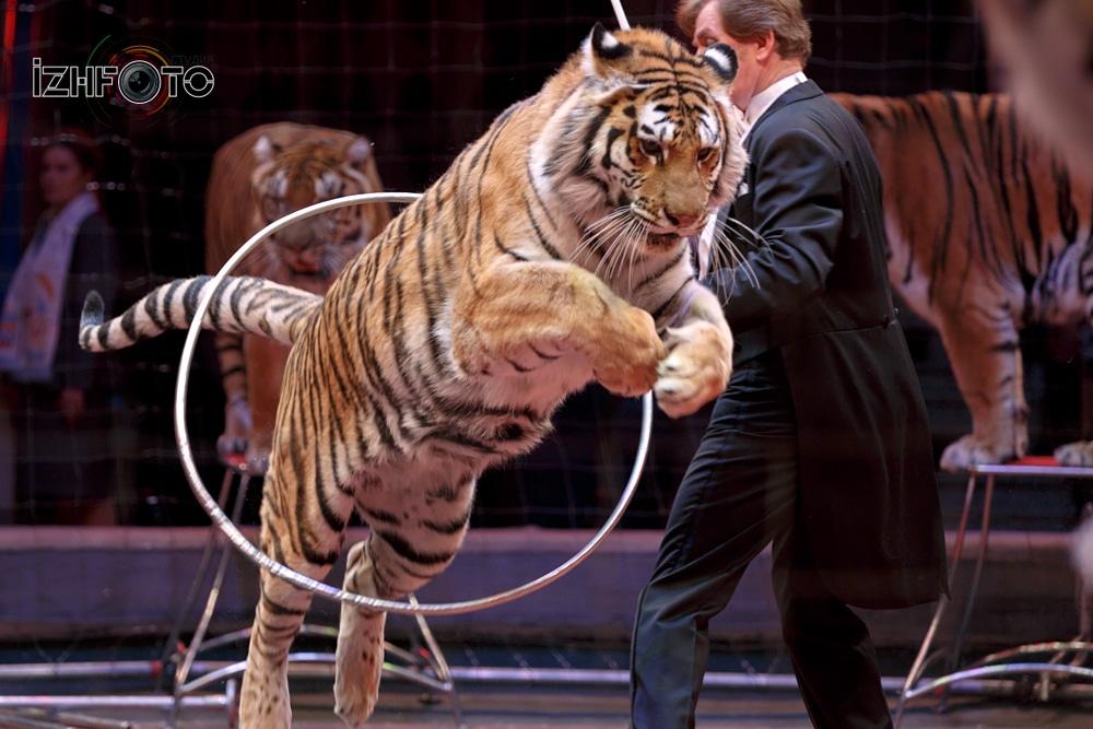 Тигры в Цирке Фото