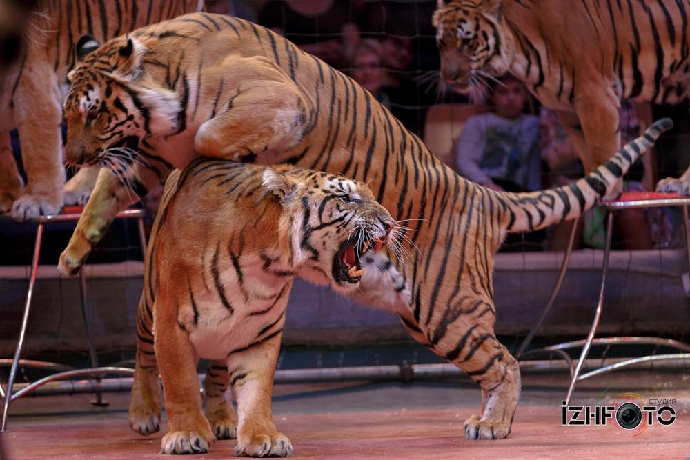 Дрессированные тигры Фото