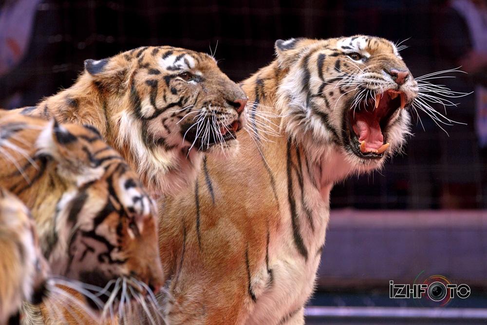Дрессировщик тигров Николай Павленко