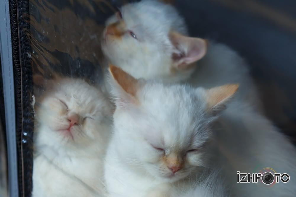 Выставка кошек в Ижевске