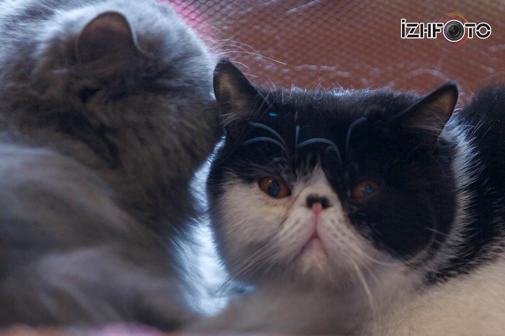 Клуб любителей кошек Ижевск