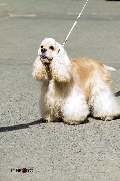 Выставка собак Ижевск Фото