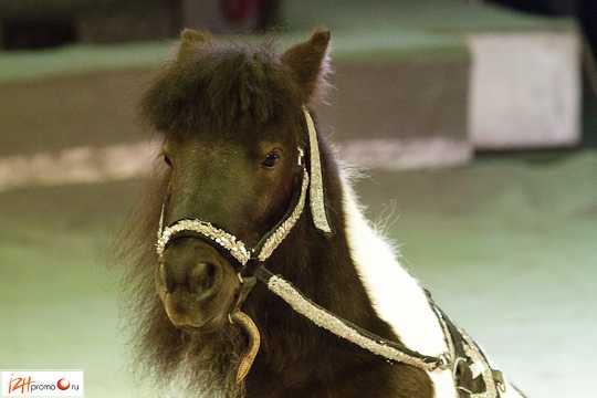 Шетленские пони