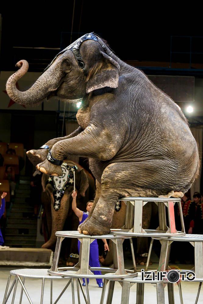 Фото слонов в цирке