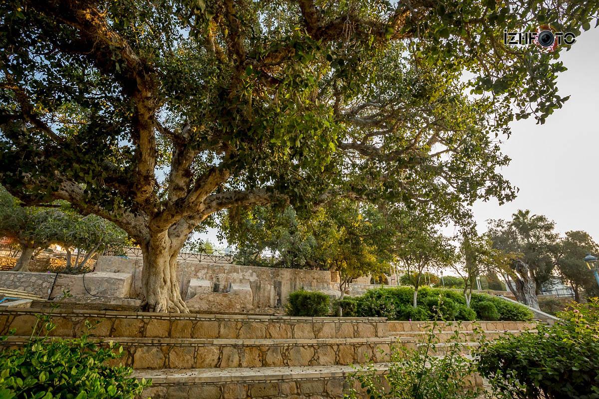 Дерево Сикамор Айя напа / Sycamore Tree Ayia Napa