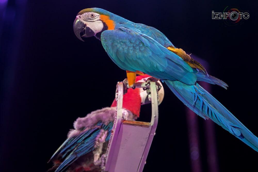 Попугаи в цирке