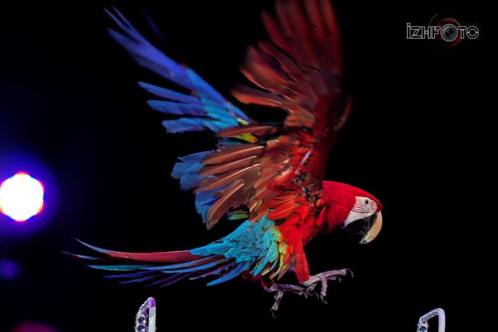 Цирковые попугаи