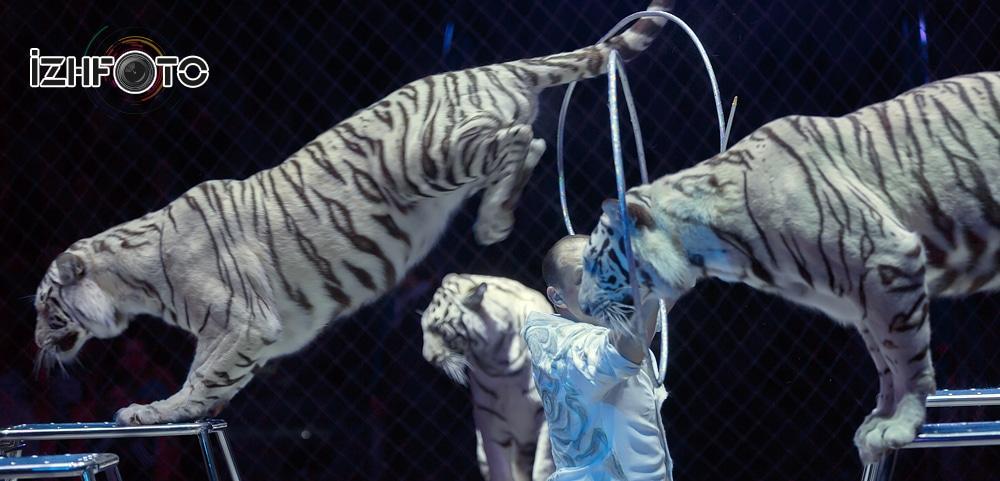 Белые тигры Фото