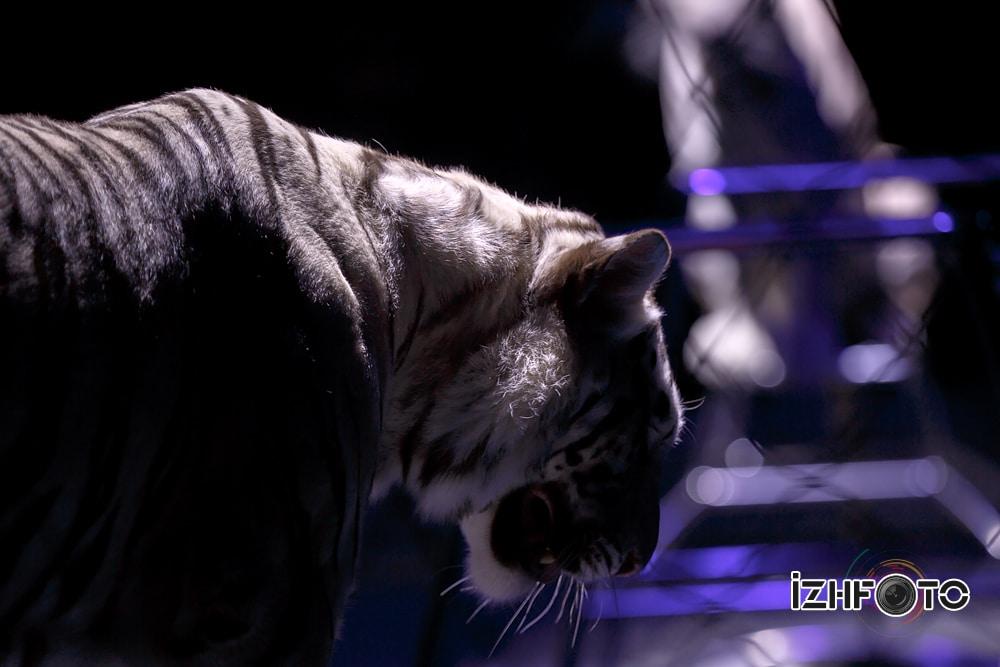 """Attraction """"Mascot""""trainer Sergey Nesterov """"Safari"""" circus Russia"""