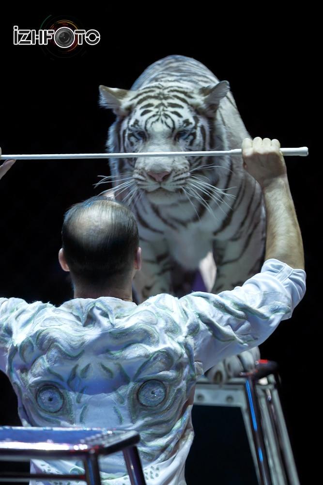 Белые тигры в цирке