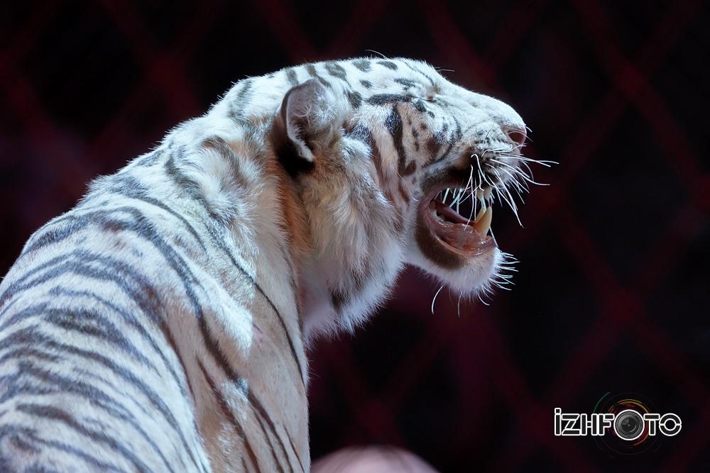 Сергей Нестеров с белыми бенгальскими тиграми цирк «Сафари»