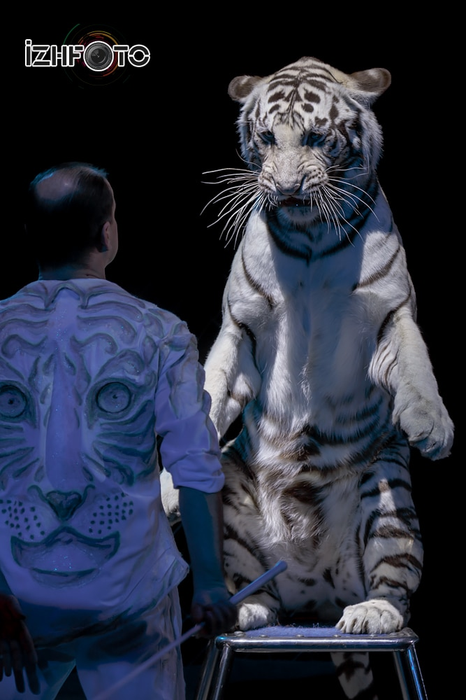 Бенгальский тигр фото