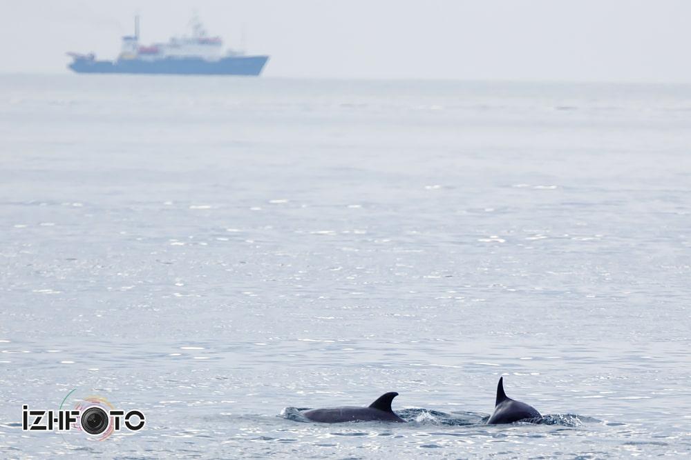 Дельфины моря Фото