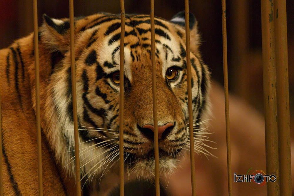 Виталий Смолянец и тигры