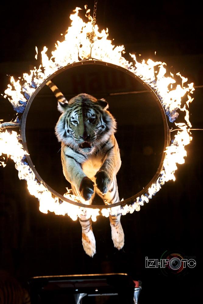 Тигры Фото 2016