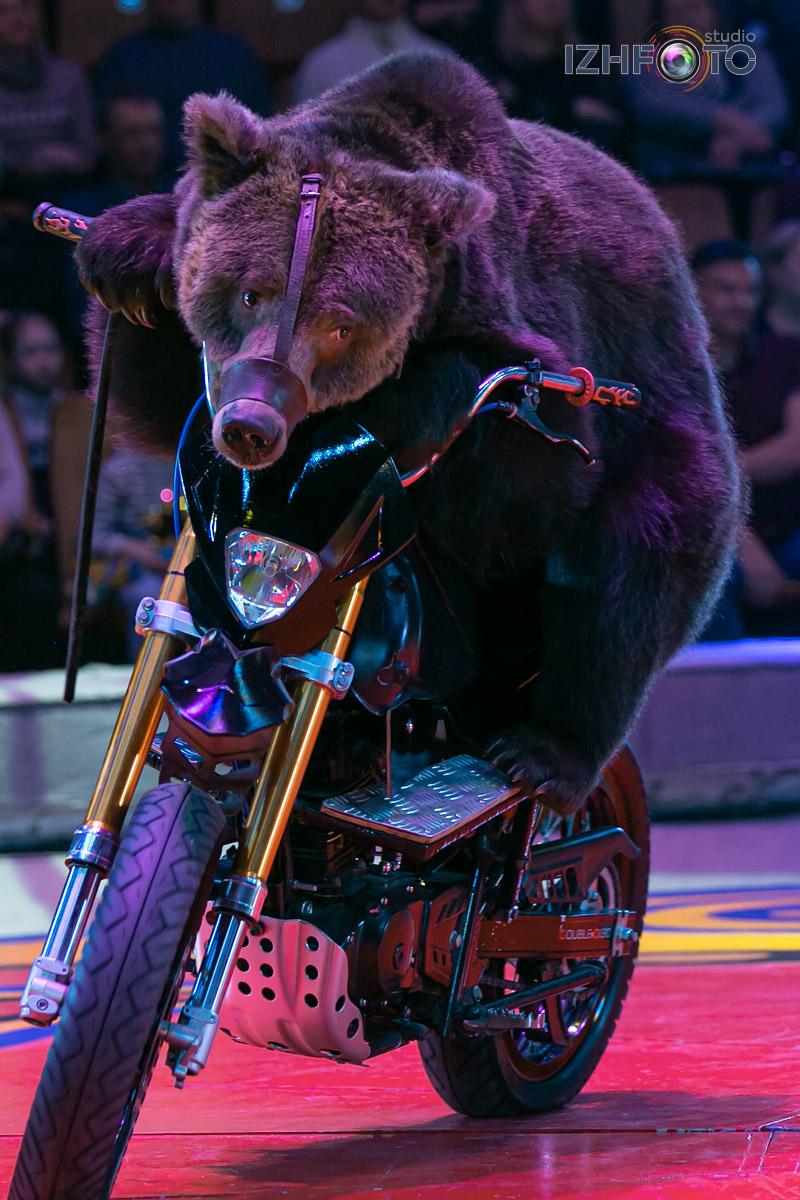 Медведи на мотоциклах в Цирке Фото