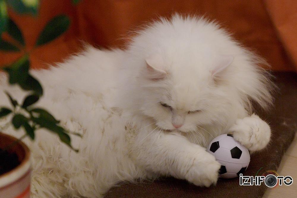 Кот играет в футбол