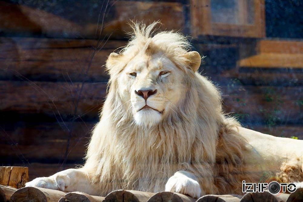 Лев Оскар зоопарк Ижевск любит когда ветер треплет его гриву