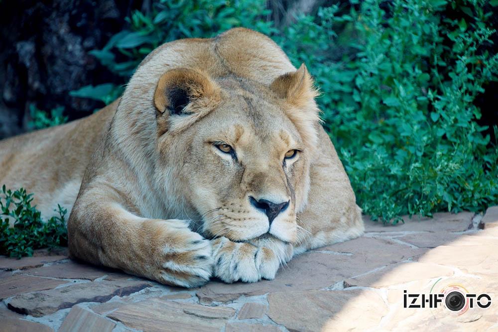 Львица Людмила в зоопарке Ижевска думает о чем то о своем, о женском....