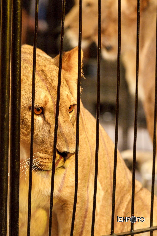 Алжирская львица в Ижевском цирке мечтает выйти из клетки