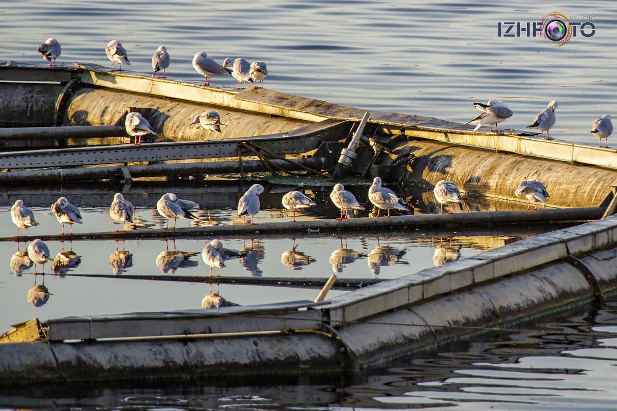 Чайки на озере Кабан в Казани Фото