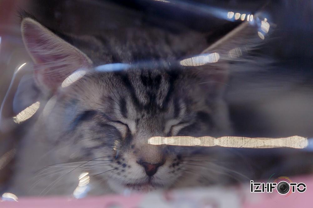 Кошки в Ижевске