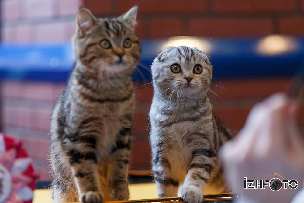 Кошки и котята в Ижевске