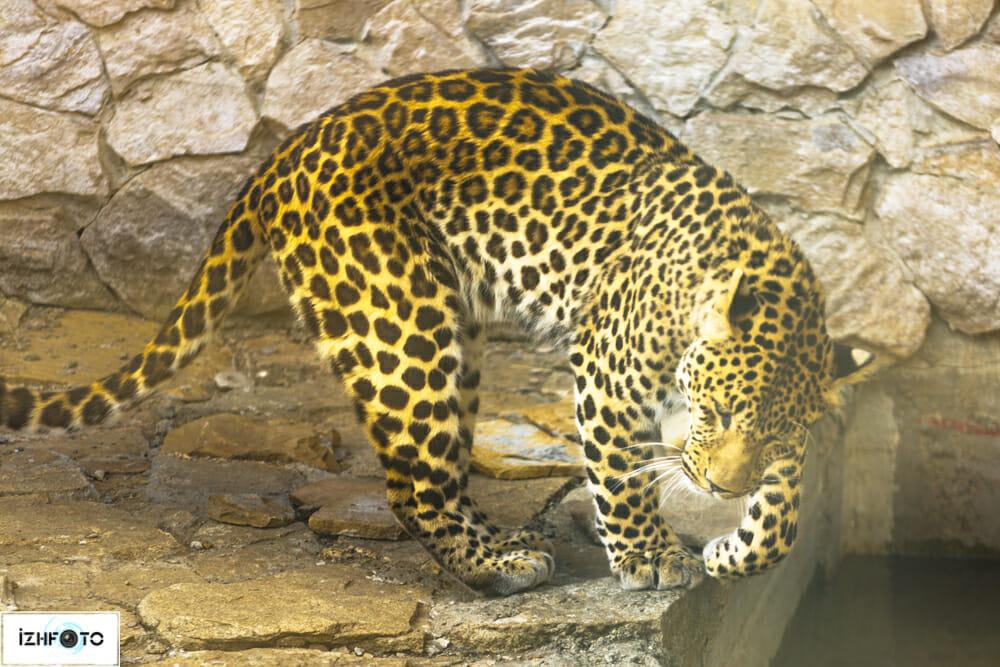 Леопард в Ижевском зоопарке