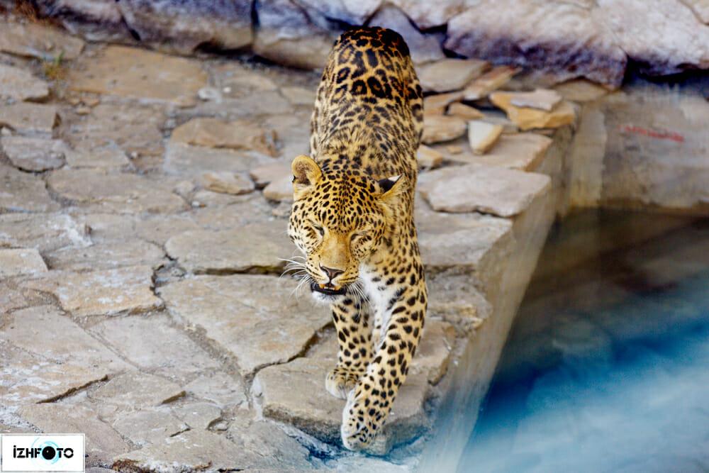 Фотографии леопарда в зоопарке
