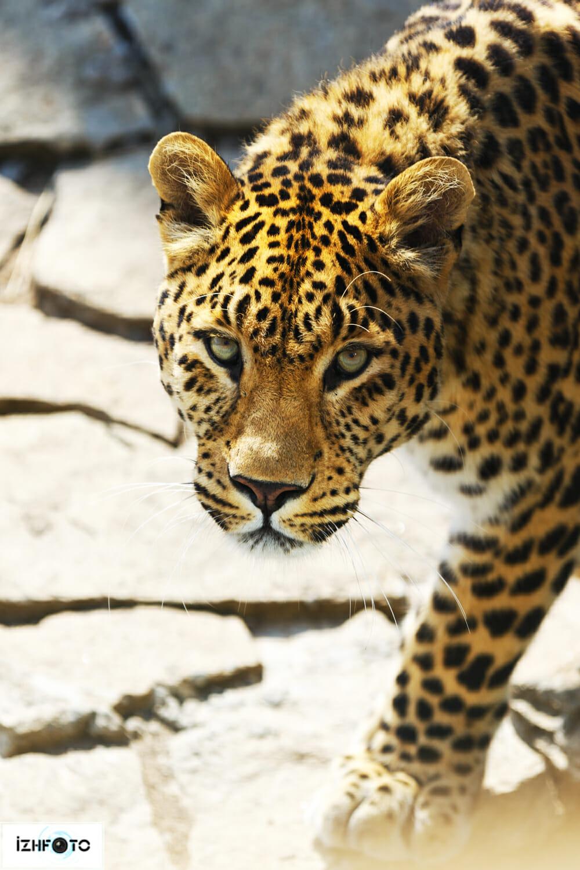 Леопард Ижевск Фото