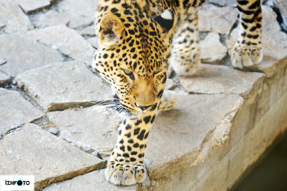 Зоопарк Ижевск Леопард