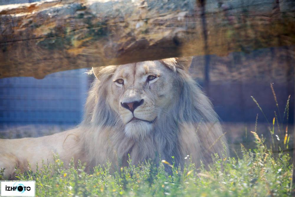 Зоопарк Ижевска Лев Оскар
