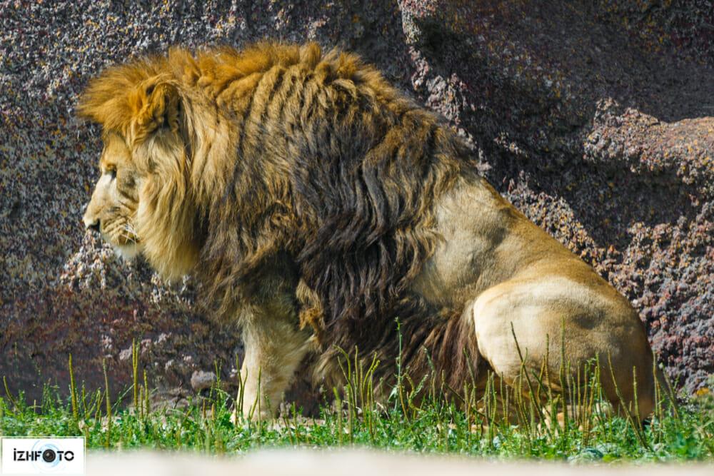 Львы в зоопарке Фото