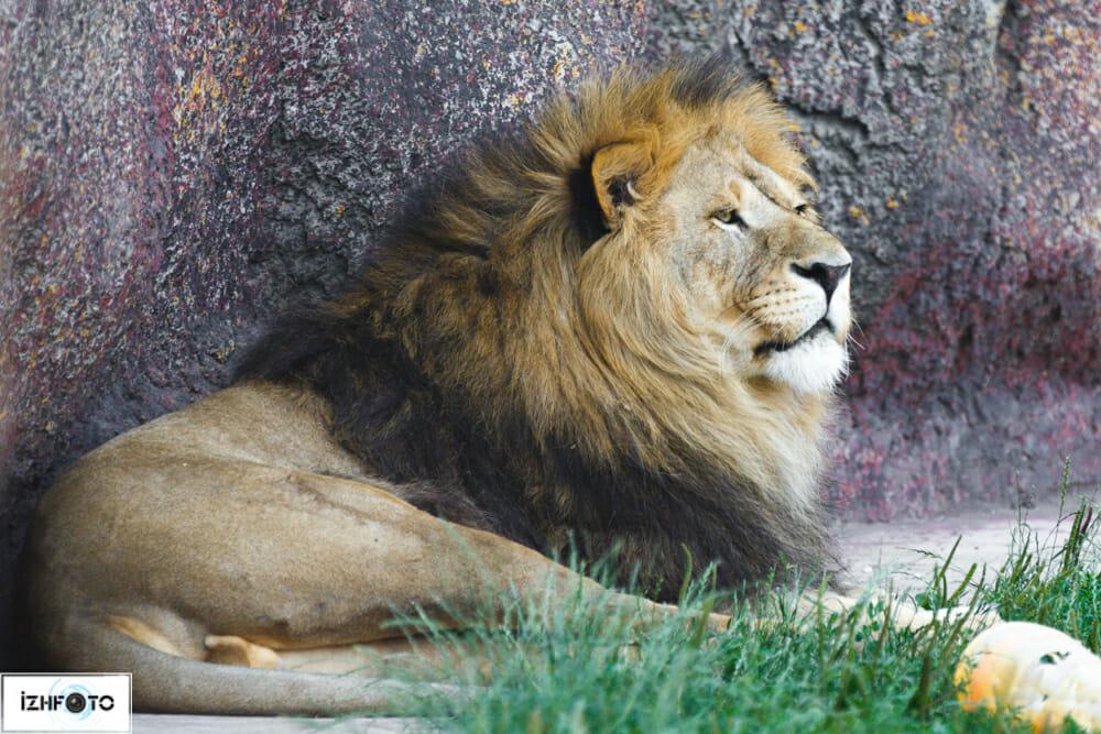 Фотографии львов Ижевск