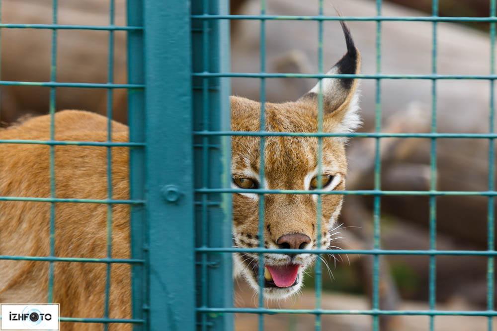 Рысь в Зоопарке Ижевска