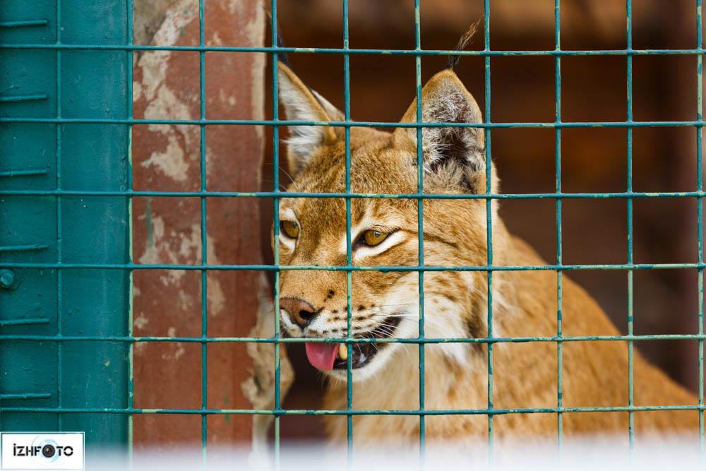 Рысь в Ижевском Зоопарве Фото