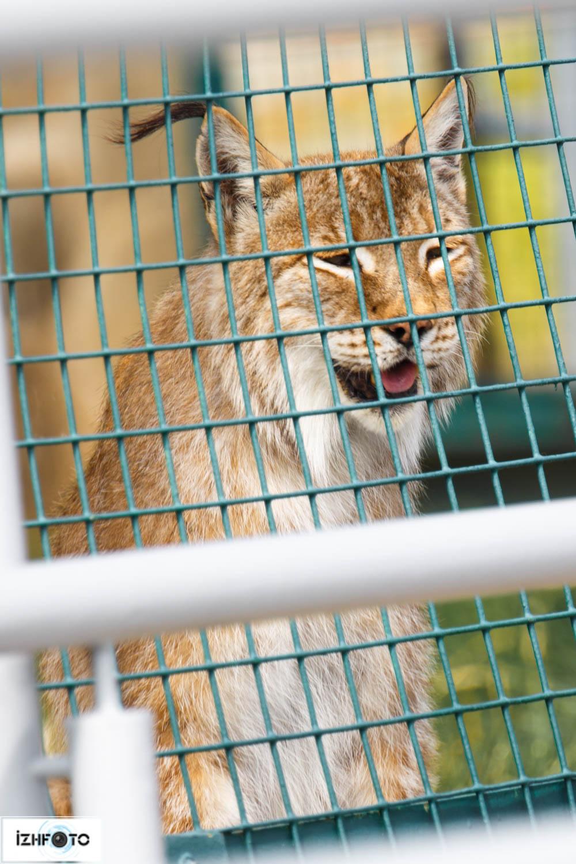 Фотографии рыси в зоопарке