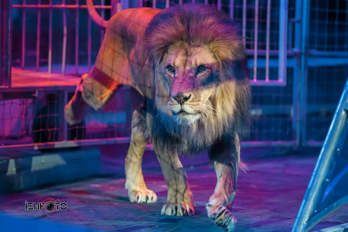 В садах Ривенделла аттракцион со львами