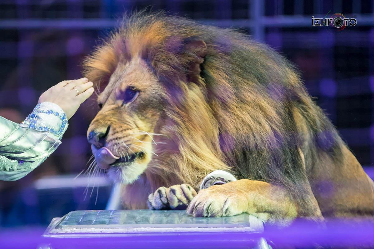 Львы «В Созвездии Льва»