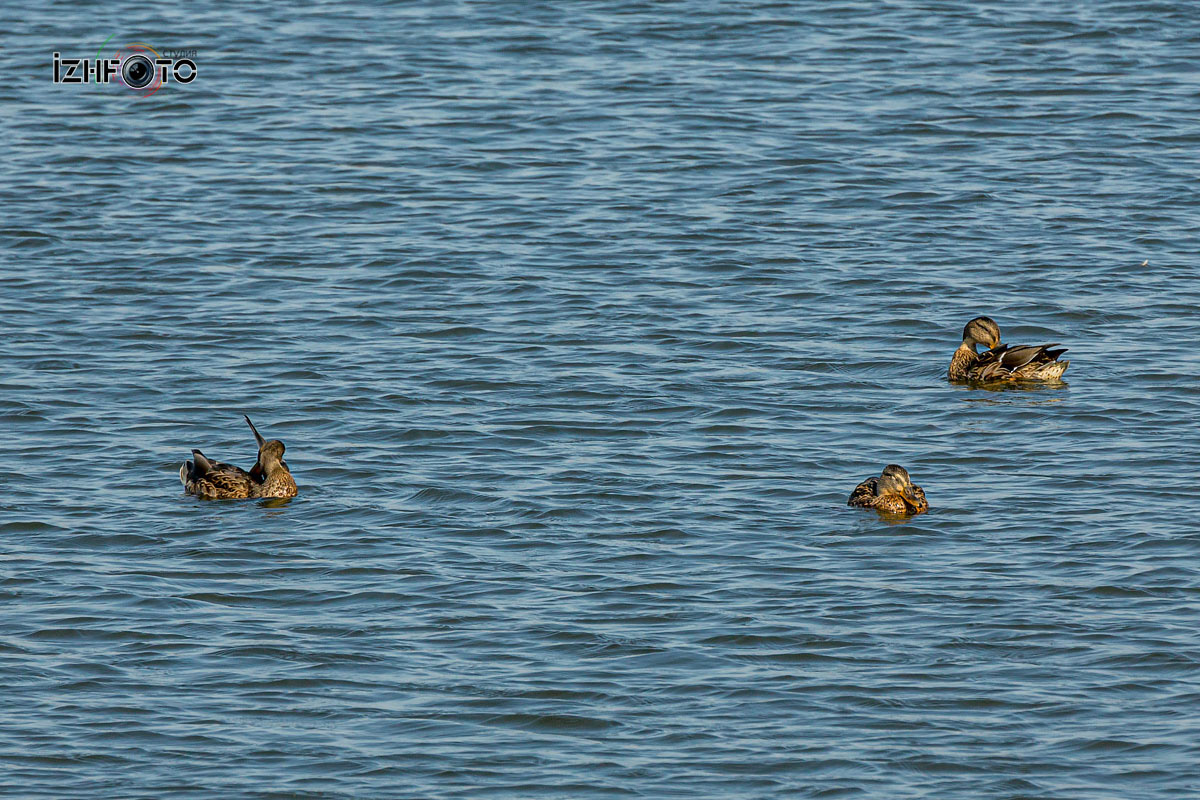 Утки Воткинский пруд Фото