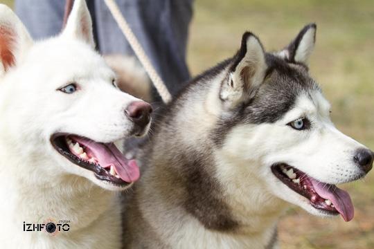 Фото с выставки собак в Ижевске