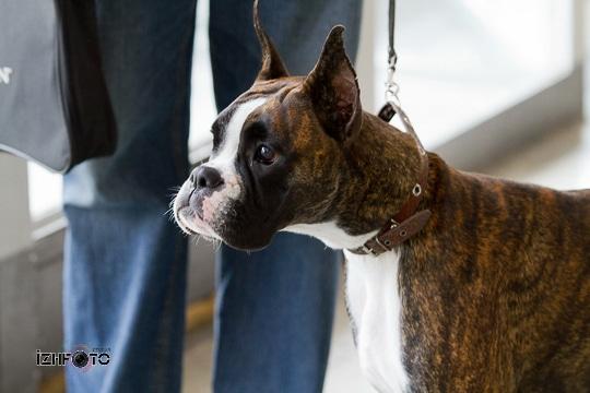 Собаки на выставке Ижевск Фото