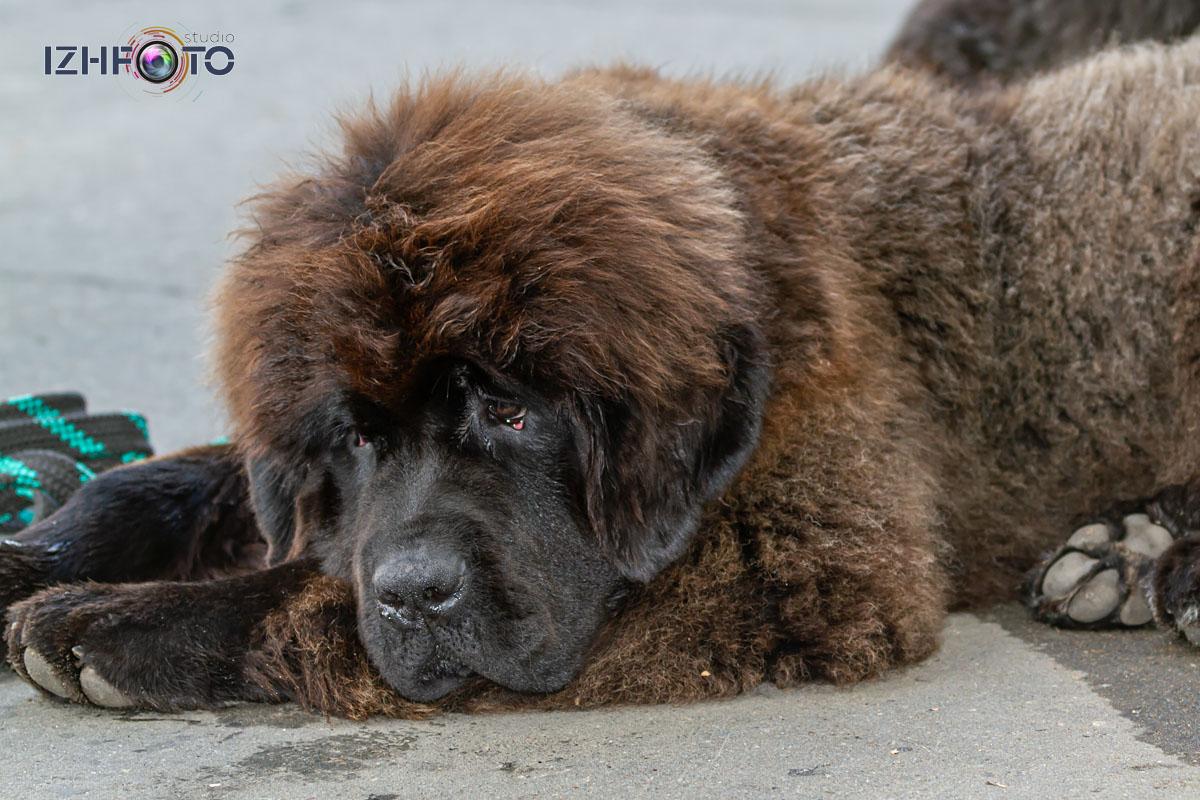 Заводчики собак в Ижевске